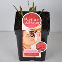 plantenwinkel.nl Rozenstruik Parfum de Nature Duftfestival - C5 - 1 stuks