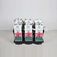 plantenwinkel.nl Engelse roos Jubilee Celebration - C3 - 1 stuks