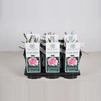 plantenwinkel.nl Engelse roos Mary Rose