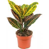 plantenwinkel.nl Croton petra XS kamerplant