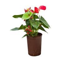 plantenwinkel.nl Anthurium sierra hydrocultuur plant