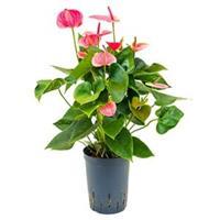 plantenwinkel.nl Anthurium sweet dream hydrocultuur plant