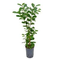 plantenwinkel.nl Ficus moclame 1pp hydrocultuur plant