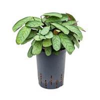 plantenwinkel.nl Calathea Ctenanthe burle maxi amagris S hydrocultuur plant
