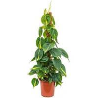 plantenwinkel.nl Philodendron grand brasil mosstok kamerplant