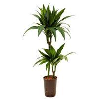 plantenwinkel.nl Dracaena janet craig duo hydrocultuur plant