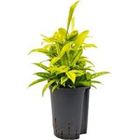 plantenwinkel.nl Dracaena surculosa mike hydrocultuur plant