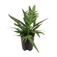 plantenwinkel.nl Aglaomorpha varen coronans hydrocultuur plant