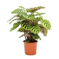 plantenwinkel.nl Calathea makoyana kamerplant
