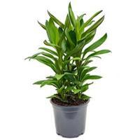 plantenwinkel.nl Cordyline glauca kamerplant