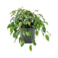 plantenwinkel.nl Ficus danielle S kamerplant