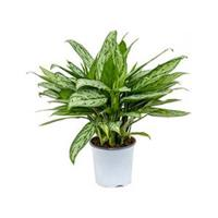 plantenwinkel.nl Aglaonema silver queen S kamerplant