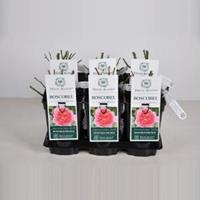 plantenwinkel.nl Engelse roos Boscobel - C3 - 1 stuks