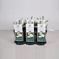 plantenwinkel.nl Engelse roos Tranquillity - C3 - 1 stuks