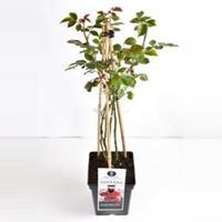 plantenwinkel.nl Klimroos Santana - C5 - 1 stuks
