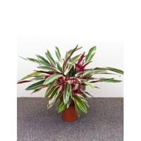 plantenwinkel.nl Calathea stromanthe triostar S kamerplant