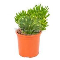 plantenwinkel.nl Opuntia cactus subulata XS kamerplant