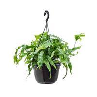 plantenwinkel.nl Microsorum diversifolium varen hangplant