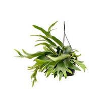 plantenwinkel.nl Platycerium bifurcatum hertshoornvaren hangplant