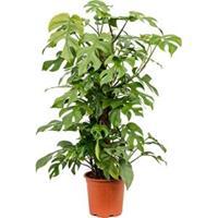 plantenwinkel.nl Monstera minima S gatenplant kamerplant