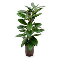 plantenwinkel.nl Ficus cyathistipula 2pp M hydrocultuur plant