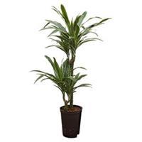 plantenwinkel.nl Dracaena deremensis tulua hydrocultuur plant