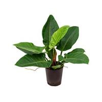 plantenwinkel.nl Philodendron imperial green S hydrocultuur plant