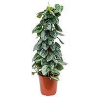 plantenwinkel.nl Scindapsus epipremnum pictus silvery ann mosstok 60 kamerplant