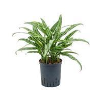 plantenwinkel.nl Aglaonema cutlass S hydrocultuur plant