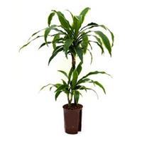 plantenwinkel.nl Dracaena arturo XS hydrocultuur plant