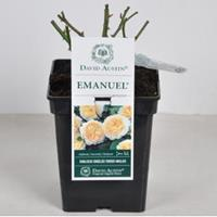 plantenwinkel.nl Engelse roos Emanuel - C5 - 1 stuks