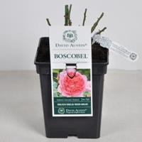 plantenwinkel.nl Engelse roos Boscobel - C5 - 1 stuks
