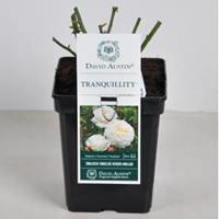 plantenwinkel.nl Engelse roos Tranquillity - C5 - 1 stuks