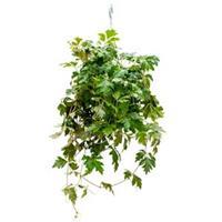 plantenwinkel.nl Cissus ellen danica hangplant