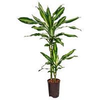 plantenwinkel.nl Dracaena cintho teresina M hydrocultuur plant