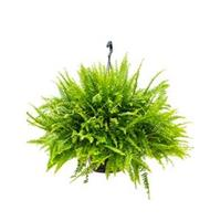plantenwinkel.nl Nephrolepis green lady krulvaren hangplant