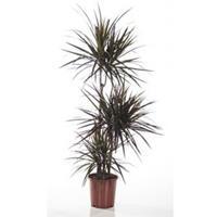 plantenwinkel.nl Dracaena magenta kamerplant