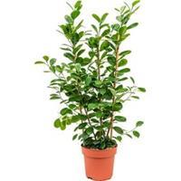 plantenwinkel.nl Ficus moclame M2 kamerplant
