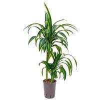plantenwinkel.nl Dracaena hawaiian sunshine duo S hydrocultuur plant