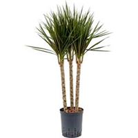 plantenwinkel.nl Dracaena marginata spider trio 45 hydrocultuur plant