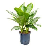 plantenwinkel.nl Aglaonema silver bay S hydrocultuur plant