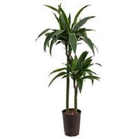 plantenwinkel.nl Dracaena arturo M hydrocultuur plant