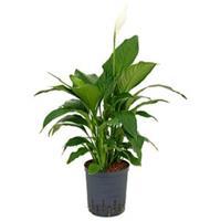 plantenwinkel.nl Spathiphyllum gokyo M hydrocultuur plant