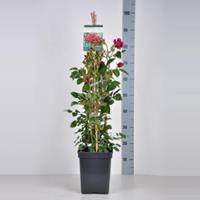 plantenwinkel.nl Engelse klimroos Darcey Bussel