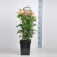 plantenwinkel.nl Engelse klimroos Lady of Shalott