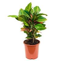 plantenwinkel.nl Croton petra S kamerplant