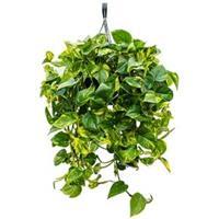 plantenwinkel.nl Scindapsus epipremnum aureum S hangplant