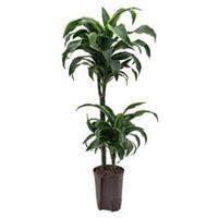plantenwinkel.nl Dracaena dorado arica hydrocultuur plant