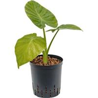 plantenwinkel.nl Alocasia calidora hydrocultuur plant