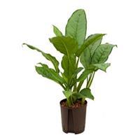 plantenwinkel.nl Aglaonema freedman S hydrocultuur plant